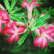 Desert rose — Stock Photo #20879943