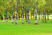 Birches — Stock Photo