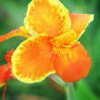 Orange iris — Stock Photo