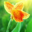 Orange iris — Stock Photo #20880223