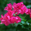 Bougainvillea flowers — Stock Photo