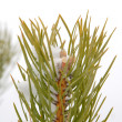 Pine branch — Stock Photo #21012851