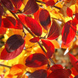 Red leaves — Photo