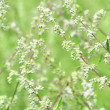 Wormwood plant — Stock Photo