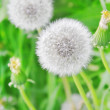 Dandelions — Stock Photo #21013483
