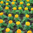 Marigolds — Stock Photo #21013503