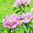Peonies — Stock Photo #21013517