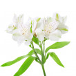 Alstroemeria flowers — Stock Photo #21013619