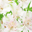 Alstroemeria flowers - Foto Stock