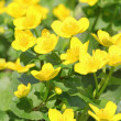 marsh marigold&quot — Stock Photo