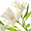 Alstroemeria flowers — Stock Photo #21013683