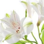 Alstroemeria flowers — Stock Photo #21013685