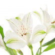Alstroemeria flowers — Stock Photo #21013693