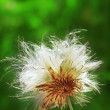 Fluffy thistle — Stock Photo #21013733
