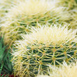 Closeup of cacti  — Stock Photo