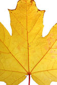 Dry maple leaf — Stock Photo