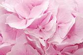 Pink hydrangea — Photo