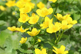 Marsh marigold — Stock Photo