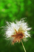 Fluffy thistle — Stockfoto