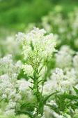 绣线菊 — 图库照片