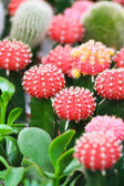 Colorful cacti — Stockfoto