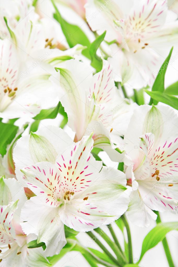 Close-up of alstroemeria flowers — Stock Photo #21013629