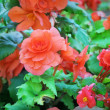 Begonia — Stock Photo #21200939