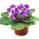 Violet — Stock Photo #30551877