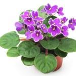 Violet — Stock Photo #30698297