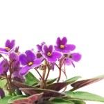 Violet — Stock Photo