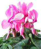 Pembe Siklamen çiçekler — Stok fotoğraf