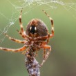 A Spider With Its Prey — Stock Photo