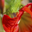 Katydid — Stock Photo #35985769