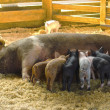 Stock Photo: Nursing Piglets