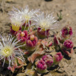Stock Photo: Mesembryanthemum crystallinum