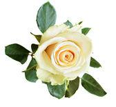 White rose on white background — Stock Photo