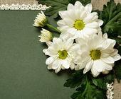Kamille auf grünen karton — Stockfoto