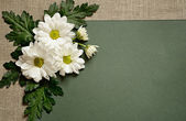 Chamomile on green paper background — Stock Photo