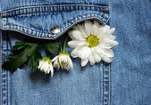 Chamomile in a jeans pocket — Stock Photo