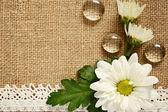 Daisy arrangement on beige canvas — Stock Photo