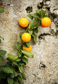 Branch with oranges — Stock Photo