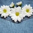 Daisies on denim fabric — Stock Photo