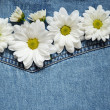 Asters on denim fabric — Stock Photo