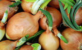 Sprouting onions — Stock Photo