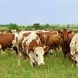 Herd of cows — Stock Photo