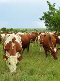 Manada de vacas no pasto — Foto Stock