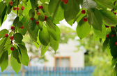 Ripening cherries in a village — Stock Photo