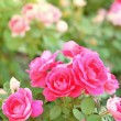 Bed of pink roses — Stock Photo