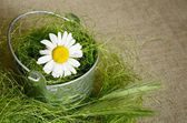 Daisy in a bucket — Stock Photo
