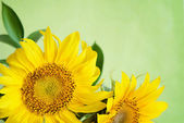 Sunflowers on green background — Stock Photo